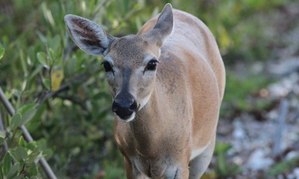 ***Virtual*** Wildlife Movement and Dispersal Study at the Florida Wildlife Federation